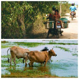 enfant, vache paysage cambodge