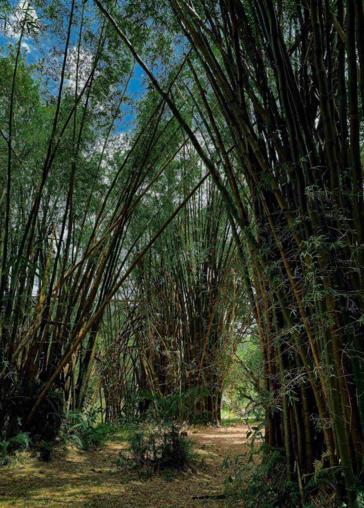 ilet bettleem est reunion bambou