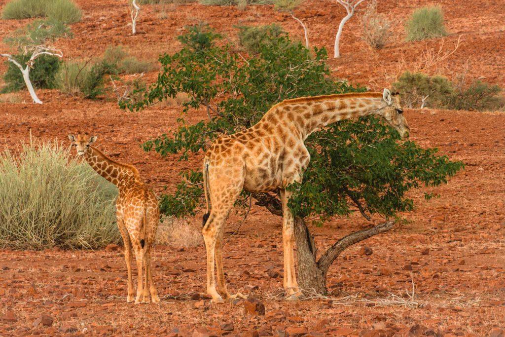 Palmwag nord Namibie girafe road trip